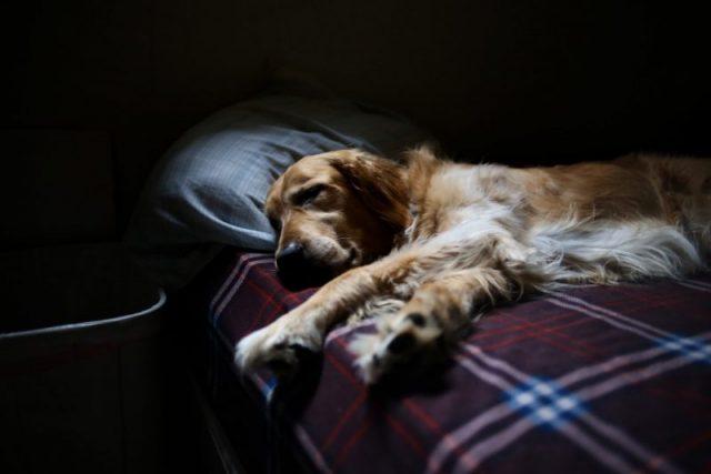 疲れてベッドで寝ている犬