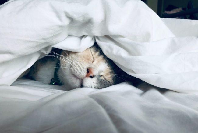 布団の中で寝ているネコ
